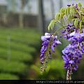 紫藤花.png