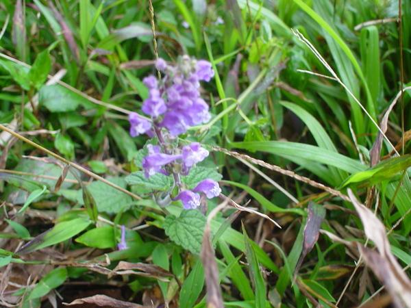 小紫花-1