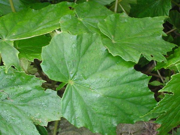 海棠科不對稱葉片
