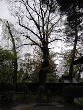 0512角館ー武家屋敷岩橋家カシワの木(樹齢300年余り).JPG