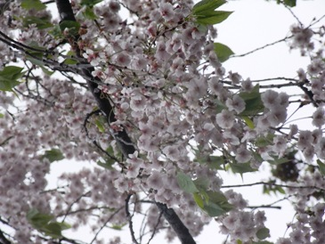 0512角館ー桧木内川堤のソメイヨシノ.JPG