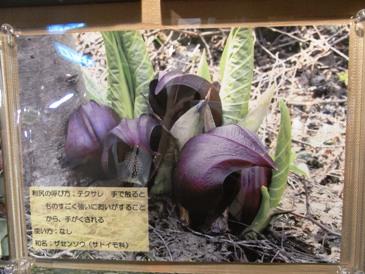 0514利尻島巡りー利尻町立博物館(ザセンソウ).JPG