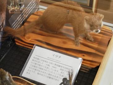 0514利尻島巡りー利尻町立博物館(イタチ).JPG