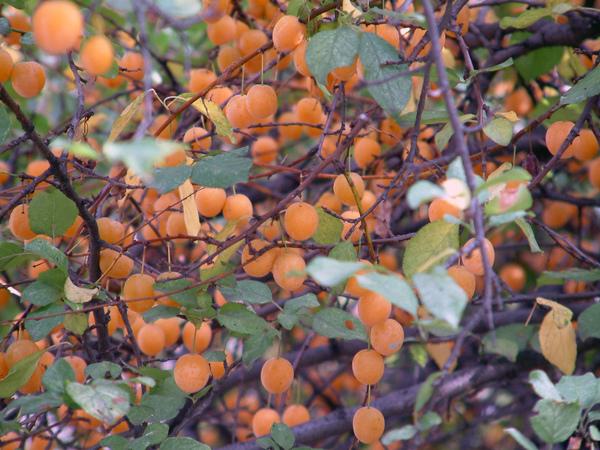 伏爾塔瓦河岸邊的果樹