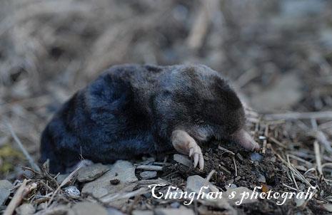 會打洞的鼴鼠(mole)