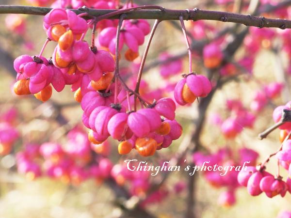 美麗的山樹花,顏色豔麗