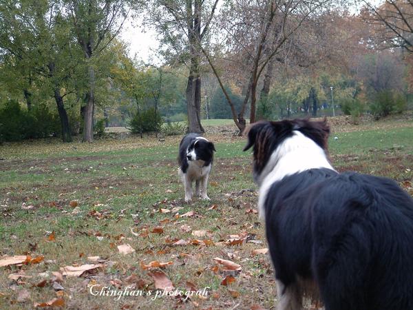 第三隻只盯著玩的這隻狗,一直對看似乎不讓牠玩。