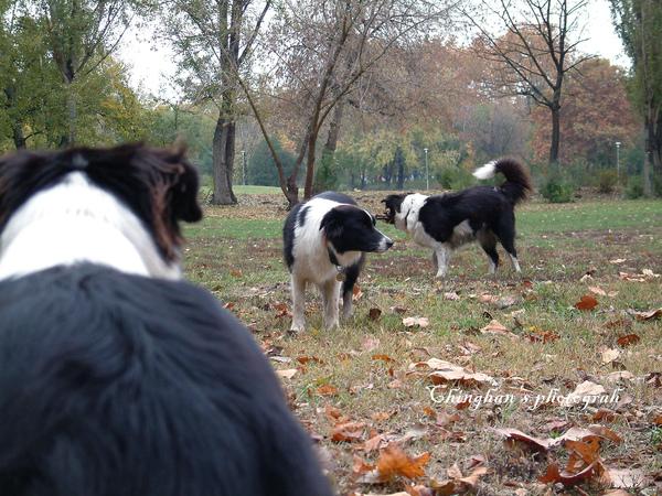 這是世界上最聰明的狗,邊境牧羊犬~牠真長了腦袋