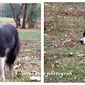 三隻狗中最有威嚴的一隻,一直在觀察四週。