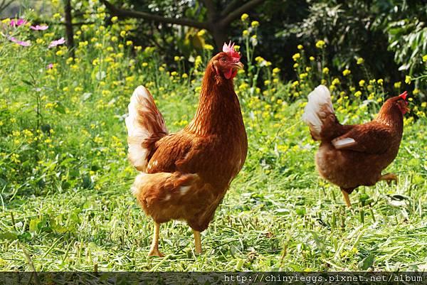 牧場雞隻照