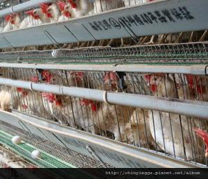 傳統養雞場