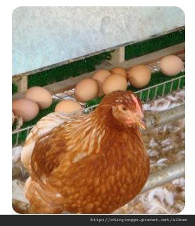 雞隻產蛋圖