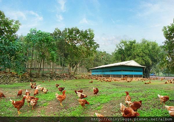 幸福牧場自然放牧的雞隻