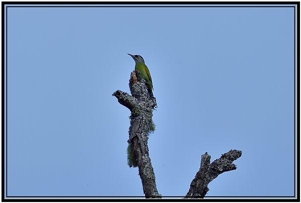 綠啄木.jpg