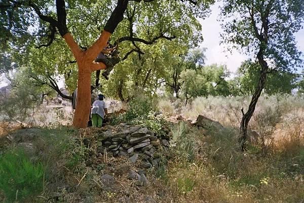 Quercus suber-2.jpeg