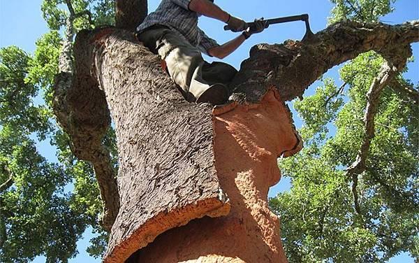 Quercus suber-1.jpg