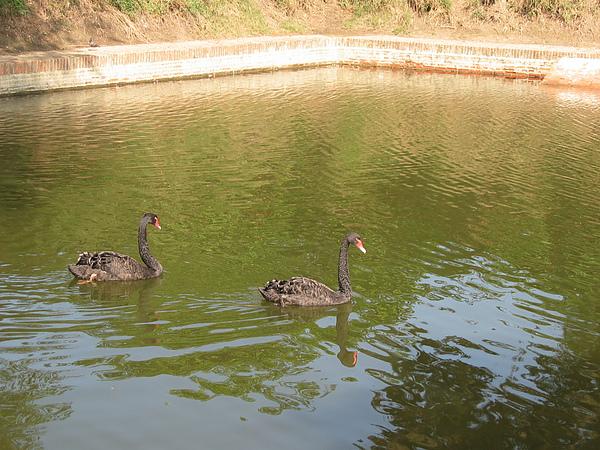 護城河旁的黑天鵝2.JPG