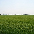 嘉南平原的稻田.JPG
