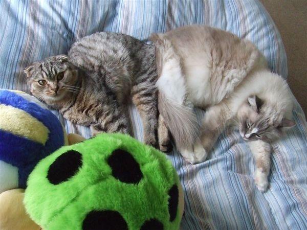 瓢蟲龜和兩隻貓相親相愛
