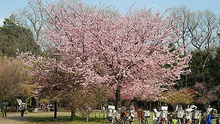 日本の桜2.JPG