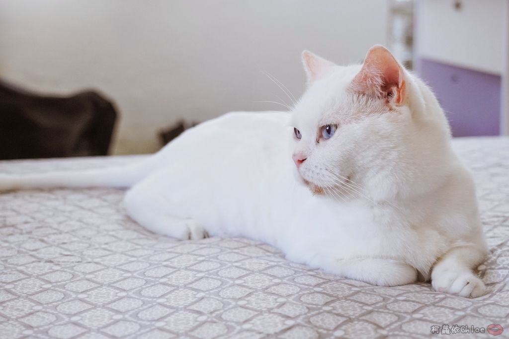 用過就回不去的貓砂!OLLIE CAT愛貓選物純淨礦砂低塵款45.JPG
