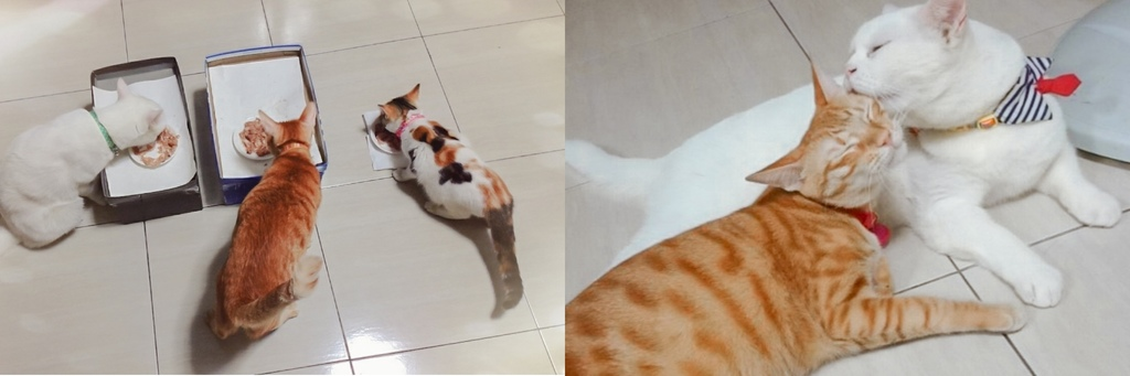 室內養貓首選貓砂貓老闆 礦感公寓砂 凝結力強 可沖馬桶的豆腐砂2.jpg