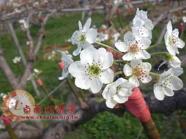 (2)開花1.jpg