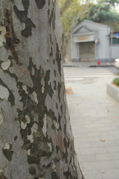 美國梧桐樹 Sycamore tree .jpg