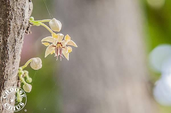 可可花 Cacao flower