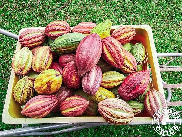 無農藥自然農法的台灣可可