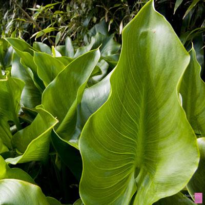 2011-03-20-竹子湖海芋季-B008.jpg