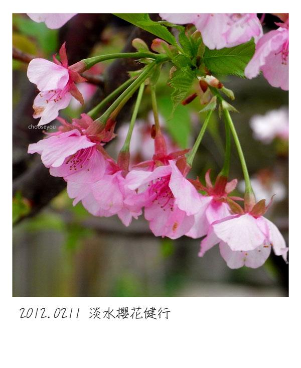 2012-02-11-淡水櫻花健行-007.jpg