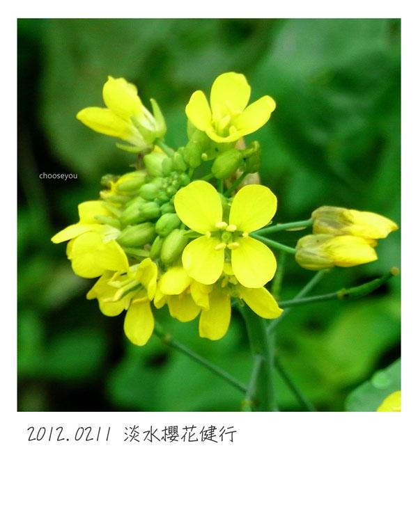 2012-02-11-淡水櫻花健行-014.jpg
