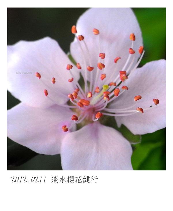 2012-02-11-淡水櫻花健行-016.jpg