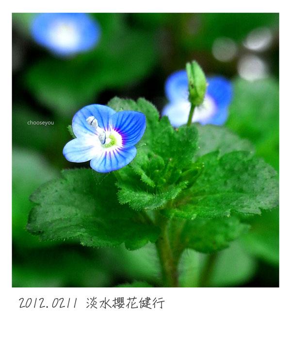 2012-02-11-淡水櫻花健行-039.jpg
