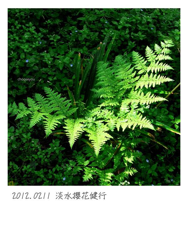 2012-02-11-淡水櫻花健行-047.jpg
