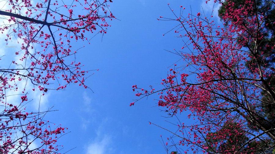 2012-02-11-淡水櫻花健行-048.jpg