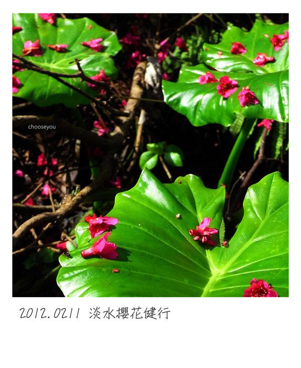 2012-02-11-淡水櫻花健行-053.jpg