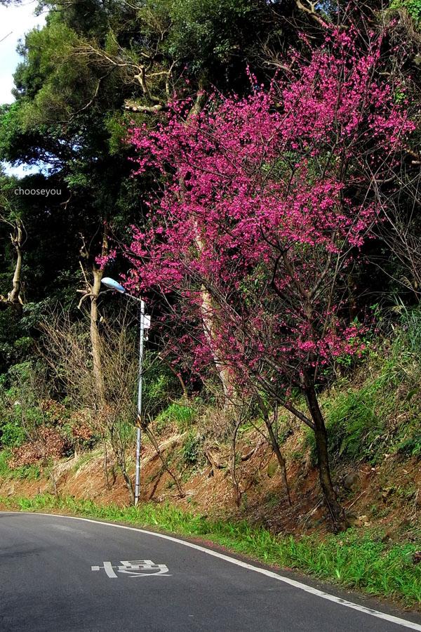 2012-02-11-淡水櫻花健行-057.jpg