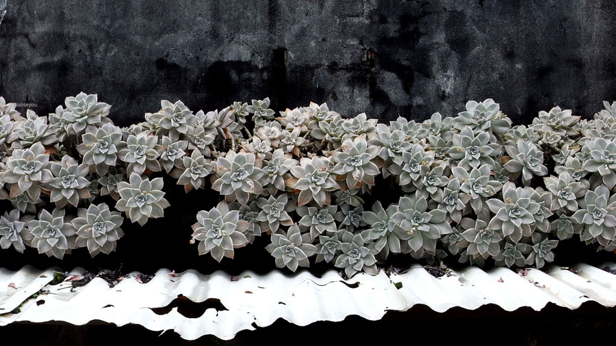 2012-02-11-淡水櫻花健行-073.jpg