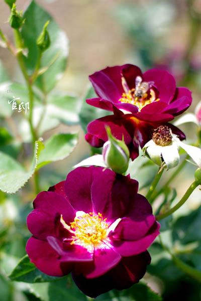 2013-0317-官邸花卉-017