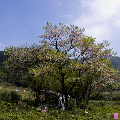 2011-03-20-竹子湖海芋季-B006.jpg