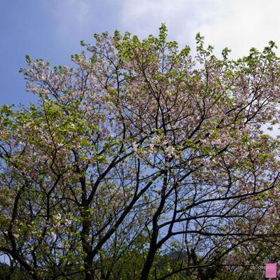 2011-03-20-竹子湖海芋季-B005.jpg
