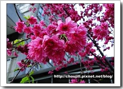 老街旁美麗的櫻花-1