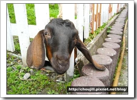 羊咩咩這是你歡迎客人的方式嗎?