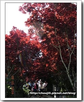 染紅的槭樹