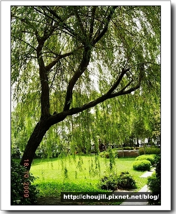 柳樹很美,可惜不適合一般人住家