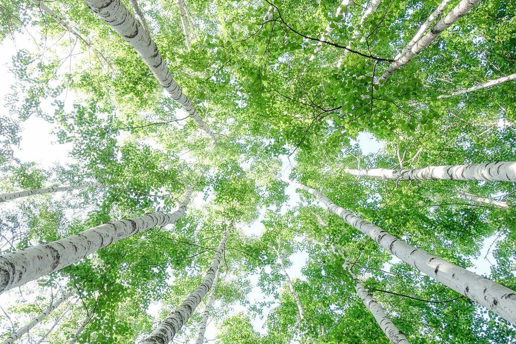 白樺樹(武石提供