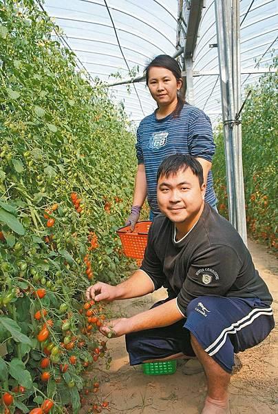 國手夫妻種番茄 訂單接不完