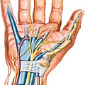 carpal-tunnel-anatomy.jpg